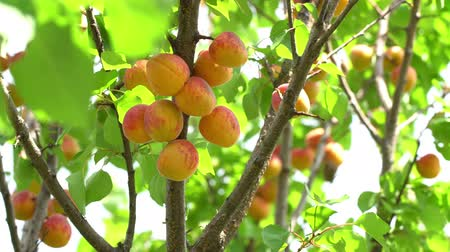 damascos : Harvest ripe apricots on a tree on a sunny summer day. Stock Footage