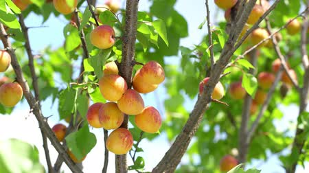 Harvest ripe apricots on a tree on a sunny summer day. Wideo