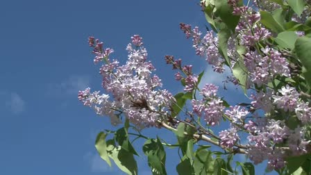 leylak : beautiful lilac flowers on the background of blue sky blowing in the wind