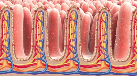 absorption : It Contains Peyers Patches In The Small Intestine. 3D Medical Animation