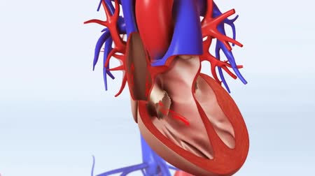 coronary : Anatomical Model Of Heart Stock Footage