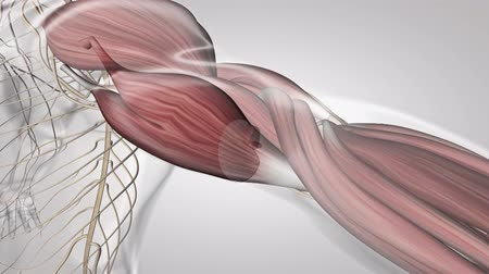 biomedica : Sistema muscular en el brazo Archivo de Video