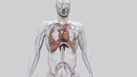 The Respiratory and Circulatory System in the Human Body Wideo