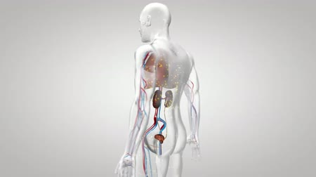 vokální : 3D Medical Animated Internal Organs, Transparent Man Model