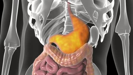 dieter : Medical animation of the digestive system. Working of intestines Stock Footage