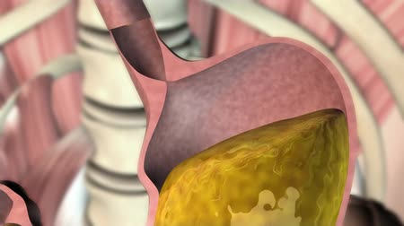 enzymes : How Stomach Function Works