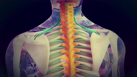 csontváz : nerve within the spinal cord