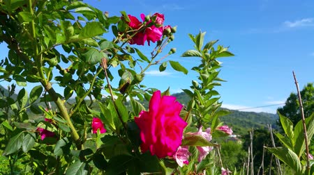canteiro de flores : Red Roses in the Garden