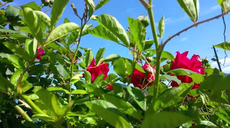 magenta flowers : Red Roses in the Garden