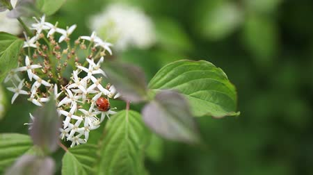monarca : Ladybug Sits On White Cherry Blossoms Stock Footage