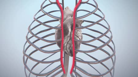 A beating heart in the rib cage. Medical Animation