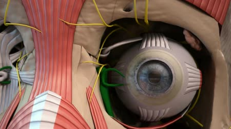 section : Animated Human eye anatomy