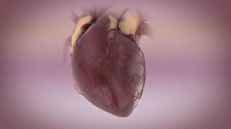 Cardiac cycle, 3D Animation of the heart. Heartbeat