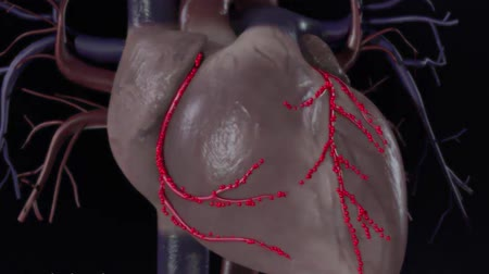 Anatomy of a healthy heart. 3D Medical Animation of normal heartbeat, blood flow