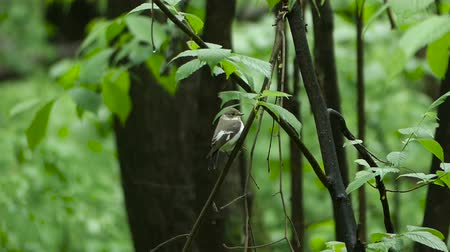 collared : Bird Semi-collared Flycatcher perching on a tree branch in forest, Ficedula semitorquata Stock Footage