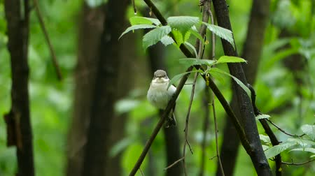 деревья : Bird Semi-collared Flycatcher perching on a tree branch in forest, Ficedula semitorquata Стоковые видеозаписи