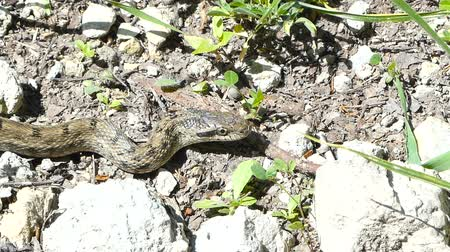 yılan : Poisonous viper snake. Central Russia. Summer.