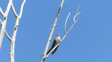 difficults : Cuckoo calling close up in the natural environment.On the tree against the blue sky. Stock Footage