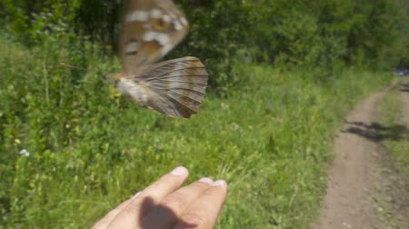 sürdürülebilir : Beautiful big butterfly takes off from his hands. Apatura iris. Slow motion. 480ftp.