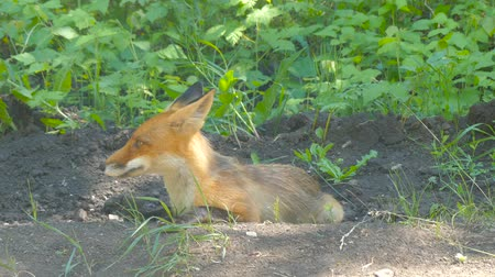 pelyhes : young fox resting summer day
