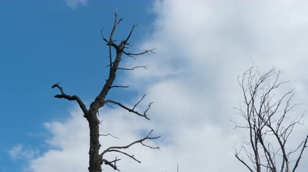 dead tree : Bare dry tree against the blue sky and floating clouds. Time lapse.