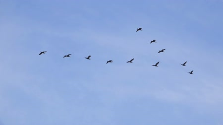 formations : Follow leaders: Flock of geese flying in an imperfect V formation. Slow motion. Birds Geese flying in formation, Blue sky background. Migrating Greater birds flying in Formation