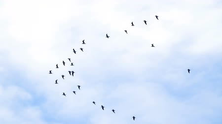 common : Follow leaders: Flock of geese flying in an imperfect V formation. Slow motion. Birds Geese flying in formation, Blue sky background. Migrating Greater birds flying in Formation