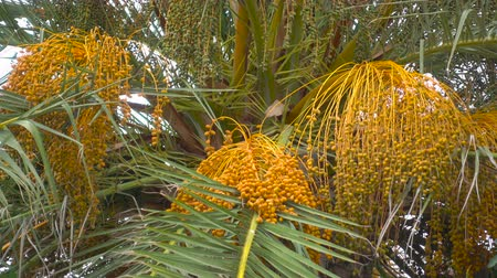 anka kuşu : Bunch of dates on date palm. Fruit on the palm tree. Africa. Tunisia