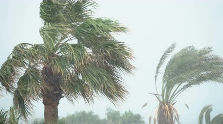 typhoon : Palm Trees Blow in Strong Wind of Tropical Storm. Hurricane Rains. Cyclone Stock Footage