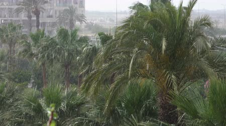 typhoon : Tropical wind and rain drops falling on the green palm tree leaves. Hurricane Rains. Cyclone. Tropical rainstorm in the jungle against the backdrop of the palm tree.