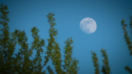 holdfény : Full moon in the evening sky behind foliage of tree Stock mozgókép