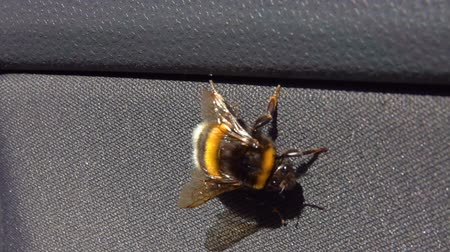 энтомология : A large bumblebee creeps on the car door. Стоковые видеозаписи