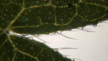 pokrzywa : Nettle leaf under the microscope. Extreme close up of the stinging nettle leaf (Urtica dioica) showing the sting cells or hair trichome. Five times magnification. Close up. UHD 4K