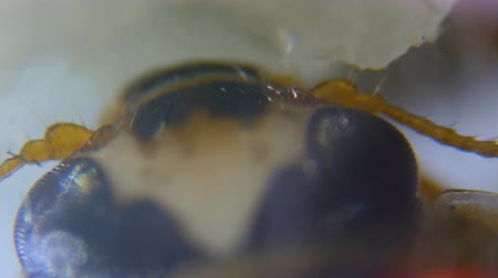fragilidade : Ladybug eats honey under a microscope. Close up. UHD 4K Vídeos