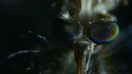 diptera : Mosquito under the microscope. Extreme close up and detailed study of mosquito head taken with microscope. Closeup. 4K UHD. Stock Footage