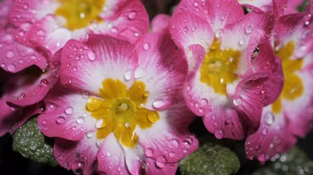 petrklíč : Macro shot of Pink primrose flower with water drops. Dew drops falling on flower petals. Raindrops falling off a flower close up. Purple flower petals with water drops on it. Slow motion.