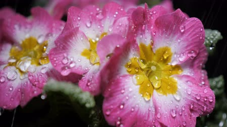 rügy : Macro shot of Pink primrose flower with water drops. Dew drops falling on flower petals. Raindrops falling off a flower close up. Purple flower petals with water drops on it.