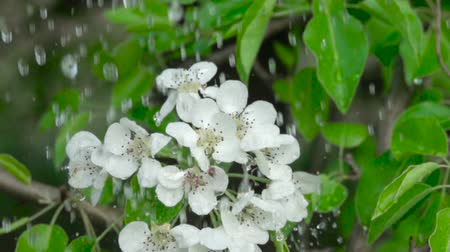 ジャスミン : A tree cherry branch with flowers in the rain. Closeup. Slow motion. Water drops falling on green leaves and white flowers. Close up. Spring bloom of cherry flowers. 動画素材