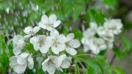 yasemin : A tree cherry branch with flowers in the rain. Closeup. Slow motion. Water drops falling on green leaves and white flowers. Close up. Spring bloom of cherry flowers. Stok Video