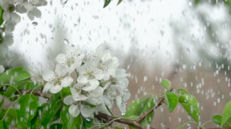 csöpögő : A tree cherry branch with flowers in the rain. Closeup. Slow motion. Water drops falling on green leaves and white flowers. Close up. Spring bloom of cherry flowers. Stock mozgókép