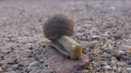 balçık : Big grape snail on the road. Closeup. Big snail in shell crawling on the road, summer day in garden. Close up.
