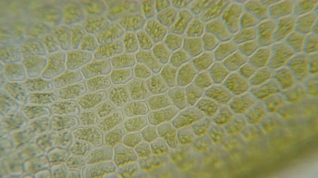 хлорофилл : Chloroplast under a microscope. Chloroplasts in plant cells. Cell line under microscope for education. Green plant cells under microscope. GMO. DNA. Стоковые видеозаписи