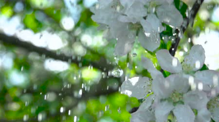 florescente : A tree apple branch with flowers in the rain. Slow motion. Closeup on flowering bloom of apple tree blossoming flowers in spring garden. Shallow DOF.