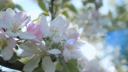 raso : Close up for white apple flower buds on a branch. Closeup on flowering bloom of apple tree blossoming flowers in spring garden.