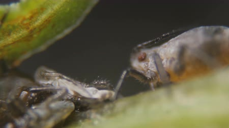 probóscide : Black bean aphid (Aphis fabae) is a member of the order Hemiptera. Aphid under a microscope, are dangerous pests. Extreme sharp and detailed aphids on leaf
