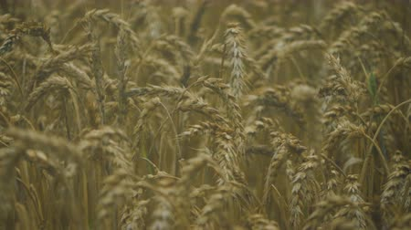 падение : Spikelets of Wheat in Rain Weather. Yellow Wheat Field Close Up. Slow Motion. Agriculture, Farming, Cereal.