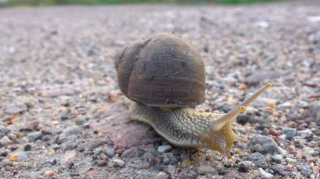 食用 : Big grape snail on the road. Closeup. Big snail in shell crawling on the road, summer day in garden. Close up.