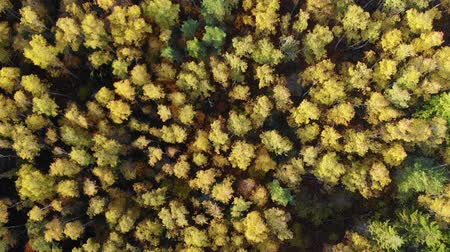 outonal : Autumn Colorful Forest From Above, Captured with Drone. Fall Orange, Green, Yellow, Red Leaves Trees Woods. Aerial View Flying Above Stunning Colorful Treetops with Bright Leaves on Sunny Day. Stock Footage