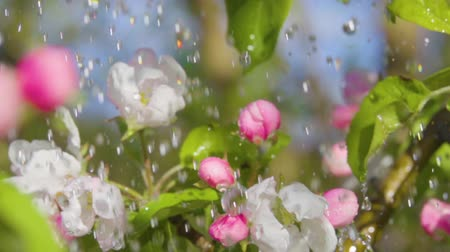 třešně : Closeup Flowering Bloom of Apple Tree Blossoming Flowers in Spring Garden. Water Drop Flows Down on Leaf. Fresh Rain Water Drops Beautiful Blooming Apple Flower Rainy day. Slow motion. Shallow DOF.