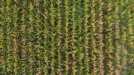 Man in Hat Walking Through Corn Field and Examining Crop. Aerial View Directly Above a Farmer Monitoring His Corn With. Corn Field Farmer Landscape Nature Agriculture Growth Drone Footage Man Dostupné videozáznamy